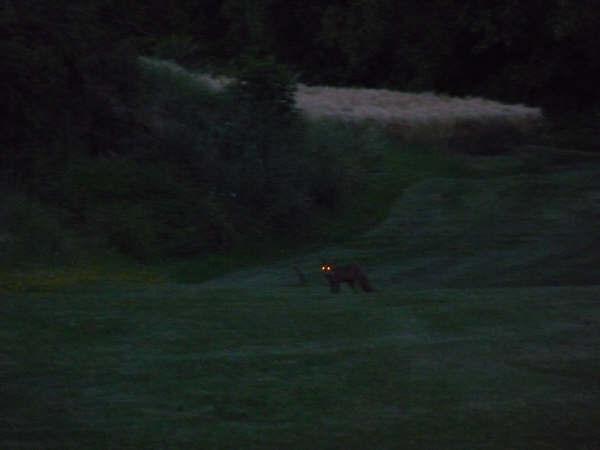 renard à la tombée de la nuit